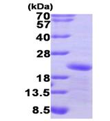 AR09458PU-L - GADD45A