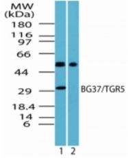 AP08280PU-N - GPBAR1 / TGR5