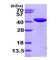 AR09461PU-L - Glutaredoxin-3 / GLRX3