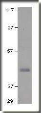 AP09967PU-N - Dopamine D3 Receptor