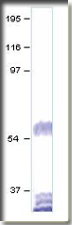 AP09969PU-N - Dopamine D5 receptor
