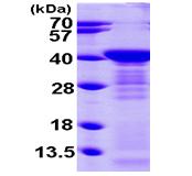 AR09474PU-L - Arginase-1