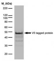 SM1691 - Pk (V5) Epitope Tag (GKPIPNPLLGLDST)