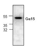AP19003PU-N - G protein alpha 15