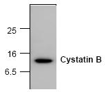AM00189PU-N - Cystatin-B