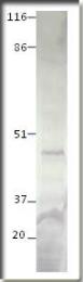 AP10077PU-N - Glucose-6-phosphatase 2 / G6PC2