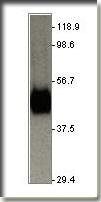 AP10084PU-N - GLUT1 / SLC2A1