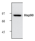 AM12118PU-N - Heat Shock Protein 90 / HSP90