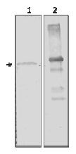 AM12119PU-N - Alpha-amylase 2A / AMY2A