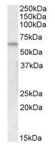 AP16259PU-N - 58K Golgi Protein