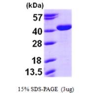AR09528PU-L - Arginase-2