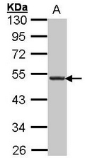 AP19011PU-N - CD185 / CXCR5