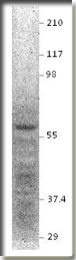 AP10174PU-N - NPY Receptor 5 / NPY5R