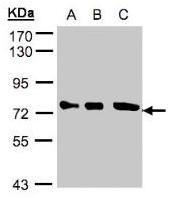AP20023PU-N - Optineurin / HIP7