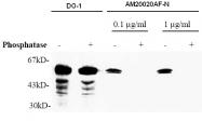 AM20020AF-N - TP53 / p53