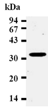 AM20022AF-N - Cyclin D2