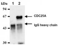 AM05219AF-N - CDC25A