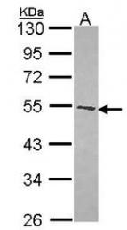 AP19017PU-N - Dopamine D1 receptor