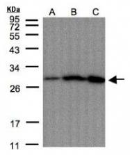 AP19027PU-N - Peroxiredoxin-4 / PRDX4