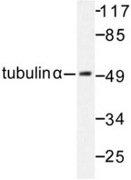 AP06604PU-N - alpha Tubulin / TUBA1B