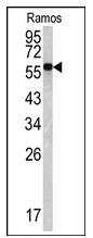 AP20052PU-N - Lamin-B1 (LMNB1)