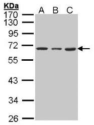 AP19045PU-N - hnRNP-K / HNRNPK