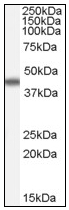 AP16668PU-N - Apolipoprotein A IV / ApoA4