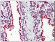 AM09004PU-N - Apolipoprotein J / Apo J