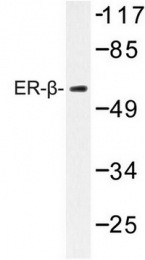 AP06806PU-N - Estrogen receptor beta