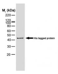 SM1693PS - 6xHistidine Epitope Tag