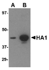 AM20122PU-N - Influenza A H5N1