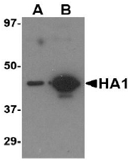 AM20123PU-N - Influenza A H5N1