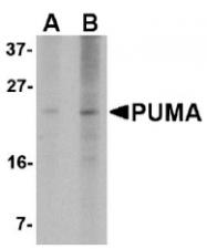 AM20124PU-N - PUMA