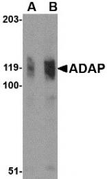 AP30020PU-N - FYN-binding protein