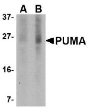 AM20125PU-N - PUMA