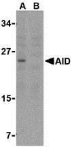AP30028PU-N - AICDA / AID