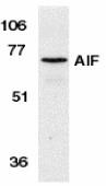 AP30029PU-N - AIFM1 / AIF
