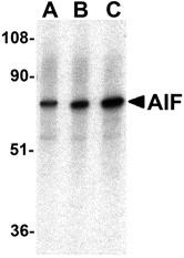 AP30031PU-N - AIFM1 / AIF