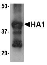 AM20132PU-N - Influenza A H5N1