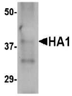 AM20133PU-N - Influenza A H5N1