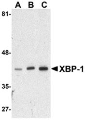 AP30991PU-N - XBP1 / TREB5