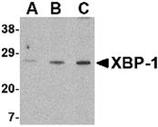 AP30990PU-N - XBP1 / TREB5