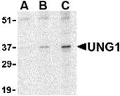 AP30979PU-N - Uracil-DNA glycosylase (UNG)