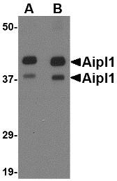 AP30037PU-N - AIPL1