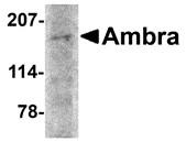 AP30048PU-N - AMBRA1