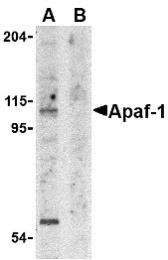 AP30055PU-N - APAF1