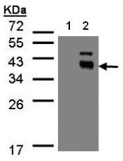 AP19054PU-N - Protein phosphatase 1K / PPM1K