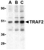 AP30934PU-N - TRAF2 / TRAP3
