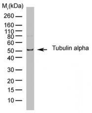SM2202P - alpha Tubulin / TUBA1B