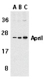 AP30075PU-N - CD256 / APRIL